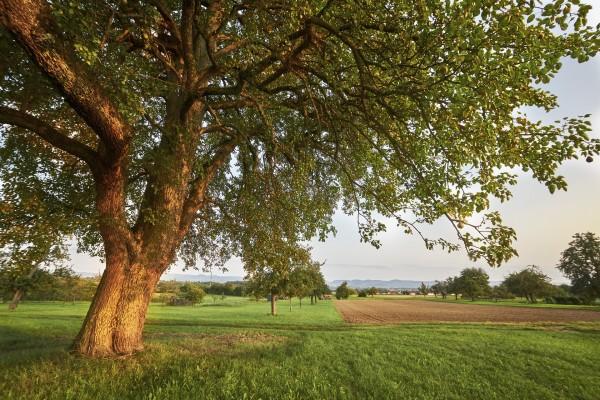 an-old-fruit-treeAn Old Fruit Tree